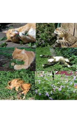 Cat Catnip 3000 Seeds