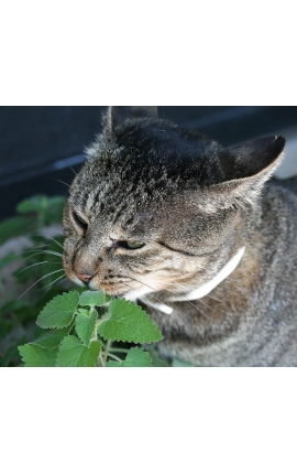 Cat Catnip 200 Seeds